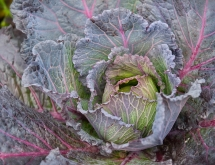 Cabbage in a field