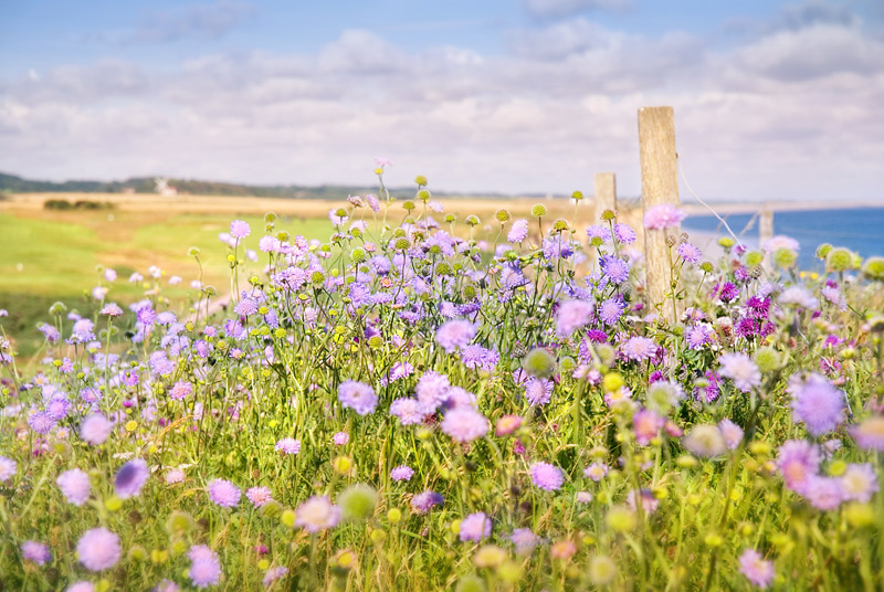 landscape photography flowers. flowers on the north norfolk coast landscape photography